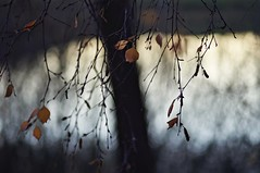 Tree (Stefano Rugolo) Tags: stefanorugolo pentax k5 pentaxk5 smcpentaxm100mmf28 ricohimaging kmount impression abstract tree lake depthoffield bokeh leaves branches manualfocuslens manualfocus manual vintagelens hälsingland sweden sverige