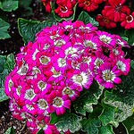 Allan Gardens Conservatory ~ Toronto Ont - Canada - Botanical Gardens - Cluster of  Rose hydrangea flowers blooming. thumbnail