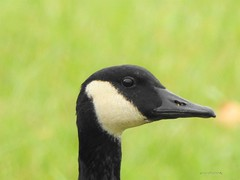 Canada Goose (Anton Shomali - Thank you for over 2 million views) Tags: goose canada water lake michigan near chicago i am wet reflections shadow bird big long black neck brown animal waterfowl head eye nose green canadian canadagoose bigbird wild wildbird wildlife