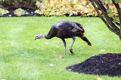 Brookline Turkeys (2 of 5) (kylesgibson) Tags: brookline boston massachusetts turkey turkeys bird