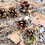 Pine Cones on the Ground thumbnail
