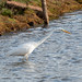 Great White Egret out fishing