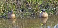 Pair of Domestic Ducks (rumerbob) Tags: geese goose wildlife wildlifephotographer wildlifewatcher waterbird waterfowl pond lakebird nature naturewatcher naturephotography dixonmeadowspa canon7dmarkii canon100400mmlens