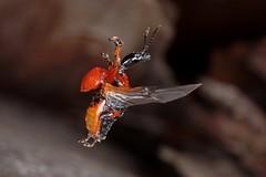 Rolf_Nagel-Fl-6361-Apoderus_coryli (Insektenflug) Tags: apoderuscoryli apoderus coryli hazelleaf roller weevil haselblattroller hasselbladruller im fliegend beetle flight entomology hazelleafrollerweevil coleoptera entomologie fauna flug insekt insektenflug minoltaerokkor75mm erokkor minolta rokkor 75mm envole en vole sverige sweden öland insel island ostsee balticsea baltic insect imflug inflight käfer schweden