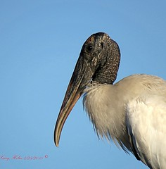 """Flint Head"" (Gary Helm) Tags: bird birds woodstork flinthead animal photograph image nature wildlife outside outdoor fly flight feathers wings sky blue bald ghelm4747 garyhelm osceolacounty joeoverstreetroad peavineroad floridawildlife florida usa wadingbird wetlands water wood"