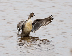 American Pintail (swmartz) Tags: outdoors nikon nature newjersey wildlife waterfowl ducks pintail forsythe november 2018 d610 200500mm
