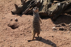 539. Meercat (1000 Wildlife Photo Challenge) Tags: meerkat animal wildlife nature