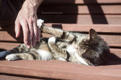 pupu scratch (hueymilunz) Tags: pupu cat portrait nz newzealandtransition newzealand pet light life helios