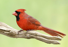 _A992952 (mbisgrove) Tags: canadian bisgrove red bird a99ii a99m2 ontario cardinal sony wings sal70400g2