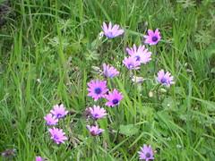 DSCN0061 (Gianluigi Roda / Photographer) Tags: springtime april 2013 wildflowers anemonehortensis