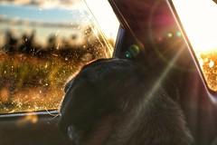 Roadtrips are better with you 💕 (Stefania Avila) Tags: colombia dog pug pugs pet sunset sunlights sun car window light roadtrip road travel