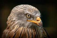 Red Kite (michel1276) Tags: redkite rotmilan bird birdofprey birds birding vogel greifvogel portrait