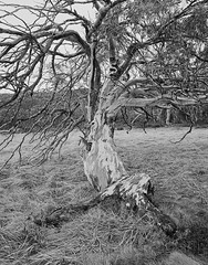 Snow Gum (Mark Darragh Photography) Tags: arcaswissuniversalis4x5 4x5 largeformat film schneider supersymmarxl botany alpineflora arcaswiss landscape blackandwhite pyrocatechol monochrome