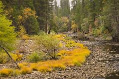 Merced River (Bernie Emmons) Tags: yosemitenationalpark nationalpark forest river stream gold trees california