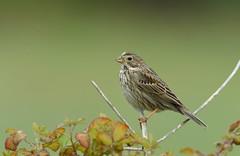 Bruant proyer (guiguid45) Tags: nature sauvage oiseaux bird passereaux loiret d810 500mmf4 nikon bruantproyer emberizacalandra passériformes emberizidés cornbunting