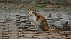 That innocent look (richard_fernando) Tags: beautiful innocence life animal vashi mumbai street kitten pussy cat