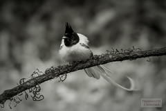 Indian Paradise Flycatcher (Terpsiphone paradisi) - Male (:: p r a s h a n t h ::) Tags: flycatcher asianparadiseflycatcher indianparadiseflycatcher paradiseflycatcher terpsiphoneparadisi 2018 ganeshgudi