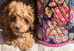 Mischief Maker at the Beach (tquist24) Tags: cavapoo michigan nikon nikond5300 outdoor sicily stjoseph tiscorniapark beach cute dog geotagged outside puppy sand summer