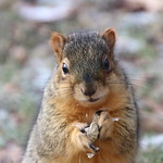 Fox Squirrels in Ann Arbor on Autumn days at the University of Michigan - December 6th & 7th, 2018 thumbnail