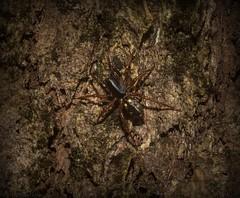 Euasteron enterprise (dustaway) Tags: arthropoda arachnida araneae araneomorphae zodariidae euasteron antspider australianspiders tamborinemountain queensland australia