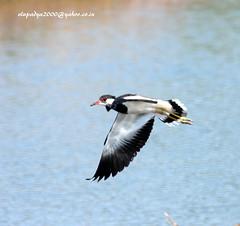 IMG_3287 Red-wattled Lapwing (Vanellus indicus) (vlupadya) Tags: greatnature animal bird aves fauna indianbirds redwattled lapwing vanellus jamnagar gujarath