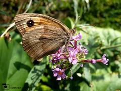 Meadow Brown Butterfly (camerapoetry) Tags: nature butterfly meadowbrown flowers leaves seaside cromer norfolk england uk summer
