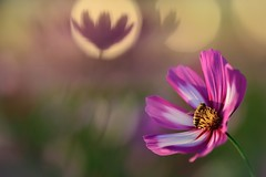 Cosmos (Vincent_Ting) Tags: cosmos 波斯菊 微距 macro 散景 bokeh field taiwan zeiss100mmf2 vincentting closeup 特寫