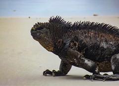 Sea iguanas from Tortuga Bay
