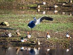 Heron at Brandon Marsh (robmcrorie) Tags: east marsh hide pool brandon heron teal shovelor wigeon coventry sassy birding warwickshire wildlife trust nikon d850