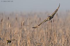 Short-eared Owl and Western Meadowlark (Gregory Lis) Tags: shortearedowl asioflammeus westernmeadowlark sturnellaneglecta owl britishcolumbia gorylis gregorylis nikon nikond810