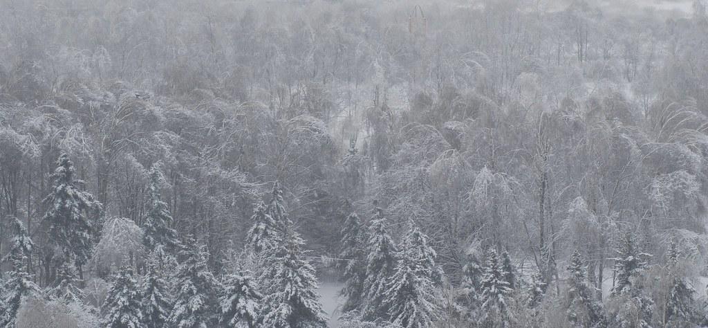 фото: Winter trees in b&w