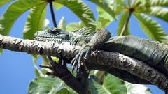 Iguana (sileneandrade10) Tags: sileneandrade iguana iguanaiguana pantanal réptil iguanidae lagarto floresta nikoncoolpixp900 nikon natureza animal camuflagem verde árvore
