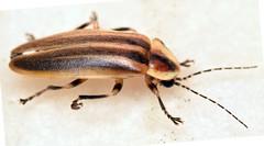 13.4 mm femme fatale lightning bug (ophis) Tags: coleoptera polyphaga elateriformia elateroidea lampyridae photurinae photuris femmefatalelightningbug