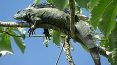 Iguana (sileneandrade10) Tags: sileneandrade pantanal iguanaiguana iguanidae réptil lagarto iguana floresta natureza animal camuflagem verde árvore sonydschx400v sony