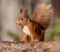 JWL8971  Red Squirrel.. (Jeff Lack Wildlife&Nature) Tags: redsquirrel squirrel squirrels animal animals wildlife woodlands wildlifephotography jefflackphotography woodland forest forests forestry pines pineforest caledonian cairngorms highlands scotland countryside nature ngc npc