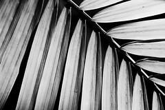 Areca Palm Sans Color (Modkuse) Tags: minimalism minimalist areca palm monochrome bw blackandwhite art artphotography fineartphotography fineart photoart fujifilm fujifilmxt2 xt2 xf35mmf2rwr fujinon fujinonxf35mmf2rwr nature natural plant leaves