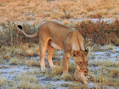 Lioness deciding to carry a cub (BaliDave2) Tags: namibia wildlife lioness lion cubs africa 2018 lioncubs