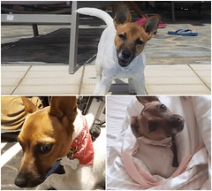 my baby ... R.I.P rest in piece my love..hope your journey is safe, u will always be in my heart (uniqu3fashion) Tags: jackrussel jackrusselworld love baby puppy rest piece rip doggy life animalworld