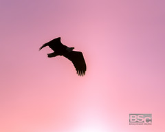 Fly Thru Sunset-9810.jpg (bryanstewartcreative) Tags: bryanstewartcreative bird eagle baldeagle silhouette sky pink sunset brilliant vibrant colors color raptor lighting composition michigan kensingtonmetropark southeastmichigan puremichigan naturalmichigan michiganders thegreatlakesstate michiganawesome awesomemitten nikon nikond750 d750 nature wildlife birds birding watching birdwatching naturephotography wildlifephotography dusk birdphotography beak talon talons eagles fly flight birdsofflight flyingthrough overhead