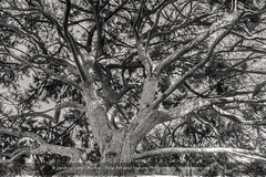 Our choices (ILO DESIGNS) Tags: tree branch branches ramas árbol pines pino bosque forest woods blackandwhite blancoynegro nature naturaleza naturallight big old d3300 18105 2016