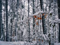 a little bit of colour - Ein bisschen Farbe (ralfkai41) Tags: bokeh winter nature kälte kontrast blätter wald natur snow woodland trees contrast forest leafs bäume buche schnee cold