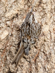 Camouflaged (tresed47) Tags: 2019 201901jan 20190127homebirds birds browncreeper canon7dmkii chestercounty content folder home january pennsylvania peterscamera petersphotos places season takenby us winter