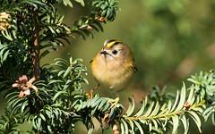 Goldcrest (kevinclarke1969) Tags: goldcrest yew tree feeding bird rufford park notts