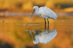 Spatola_Platalea leucorodia (mauro.santucci) Tags: spatola platalealeucorodia uccelli uccello bird avifauna natura birdwatching wildlife wild
