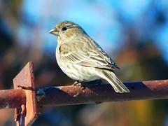 Sparrow (starmist1) Tags: bird sparrow pipe steelpipe bokeh backyard march winter cold snow feeder feeding birdfeeder rust