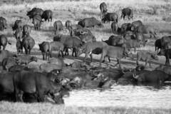20190106_174 (zubaa) Tags: kamweti kenya tsavowestnationalpark tsavo protectedarea conservation wildlife blackwhite bw capebuffalo synceruscaffer