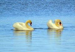 Swans (stuartcroy) Tags: orkney island swans water scotland sea