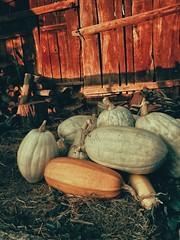 Pumpkins (Robert Krstevski) Tags: robertkrstevski huawei mobile mobilephotography mobilephoto pumpkin pumpkins nature autumn autumn2018 fall fall2018 есен тикви тиква jesen sunset golden hour