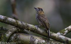 4-LIFER! Aún me quedan decenas de lifers por mostrar de Brasil. Este pequeño carpintero mide apenas 9 cm y su nombre es en honor al ornitólogo Alemán Coenraad Jacob Temminck (1778-1858). (Cimarrón Mayor 16,000.000. VISITAS GRACIAS) Tags: ordenpiciformes familiapicidae generopicumnus carpinteritocuellicanela carpinterodetemminckii macho nombrecientíficopicumnustemminckii nombreinglesochrecollaredpiculet male lugardecapturamorretes morretes paraná curitiba brasil ave vogel bird oiseau paxaro fugl pássaro птица fågel uccello pták vták txori lintu aderyn éan madár cimarrónmayor panta pantaleón josémiguelpantaleón objetivo500mm telefoto700mm 7dmarkii canoneos canoneos7dmarkii naturaleza libertad libertee libre free fauna dominicano pájaro montañas