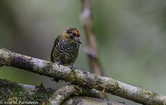 7-LIFER! Aún me quedan decenas de lifers por mostrar de Brasil. Este pequeño carpintero mide apenas 9 cm y su nombre es en honor al ornitólogo Alemán Coenraad Jacob Temminck (1778-1858). (Cimarrón Mayor 16,000.000. VISITAS GRACIAS) Tags: ordenpiciformes familiapicidae generopicumnus carpinteritocuellicanela carpinterodetemminckii macho nombrecientíficopicumnustemminckii nombreinglesochrecollaredpiculet male lugardecapturamorretes morretes paraná curitiba brasil ave vogel bird oiseau paxaro fugl pássaro птица fågel uccello pták vták txori lintu aderyn éan madár cimarrónmayor panta pantaleón josémiguelpantaleón objetivo500mm telefoto700mm 7dmarkii canoneos canoneos7dmarkii naturaleza libertad libertee libre free fauna dominicano pájaro montañas